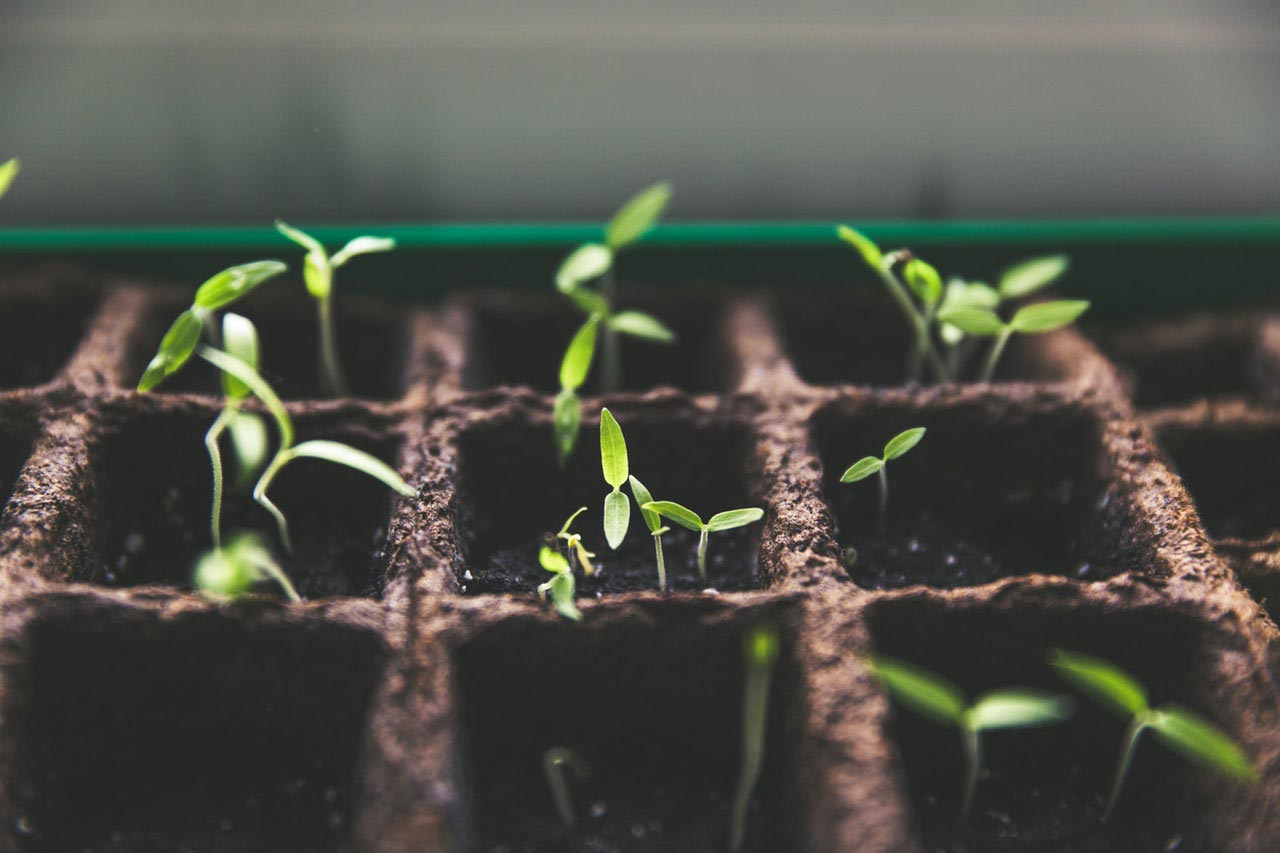 Sprouted Pepper Seeds