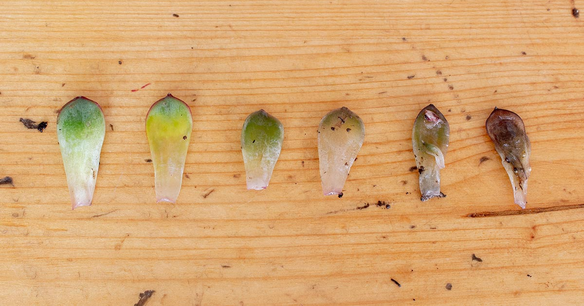 Overwatered Succulent Leaves Progression