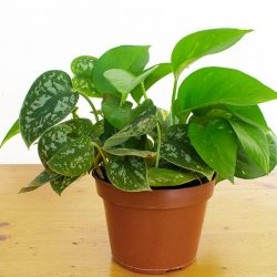 Can You Grow Different Types of Pothos in the Same Pot?