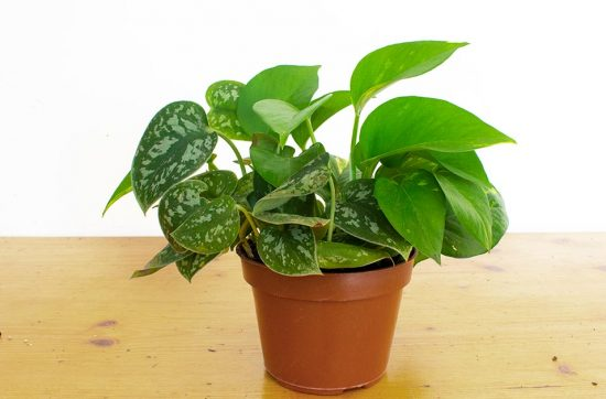 Satin Pothos and Golden Pothos in One Pot