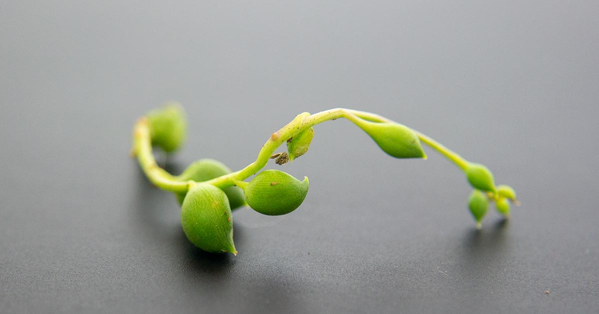 Root Forming on String of Pearls Cutting