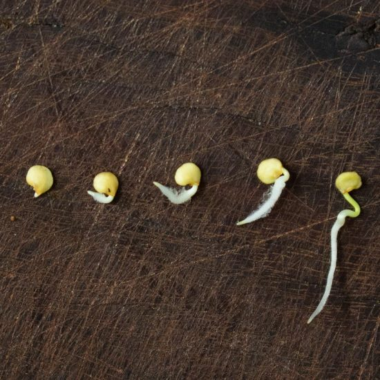 Germinated Pepper Seeds at Different Stages