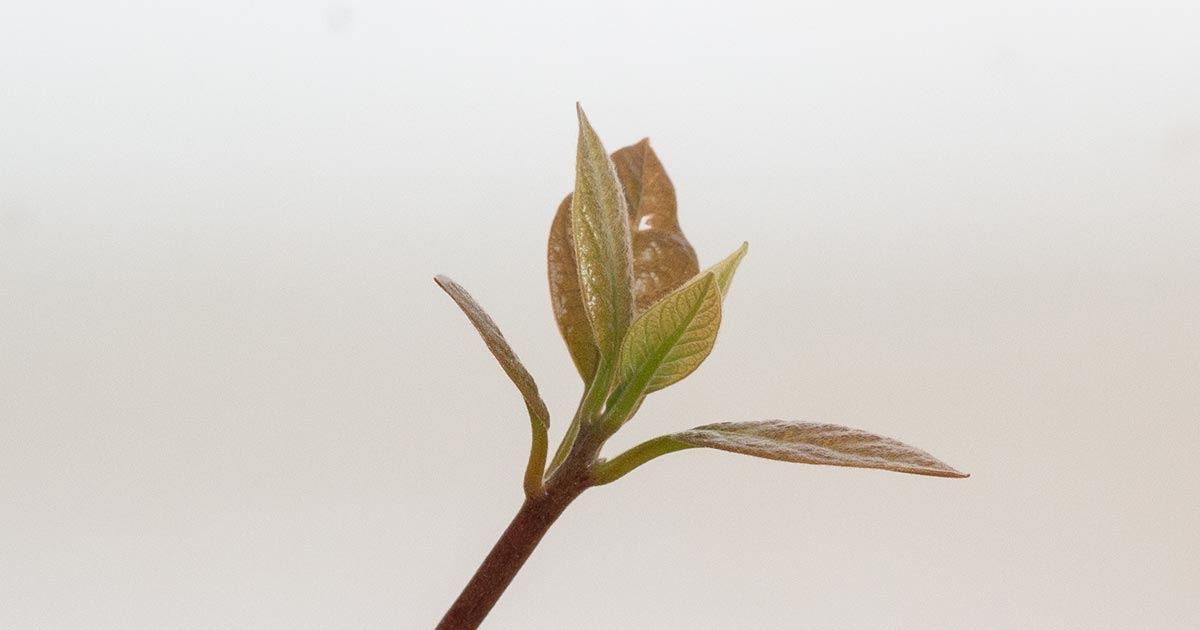 First leaves on an Avocado Tree