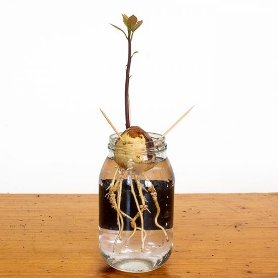 Avocado Seed Sprouted in Water