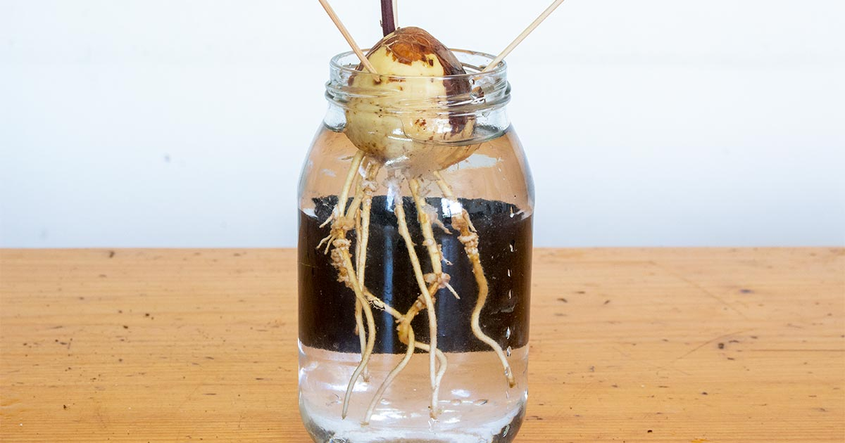 Avocado Seed Roots in Water