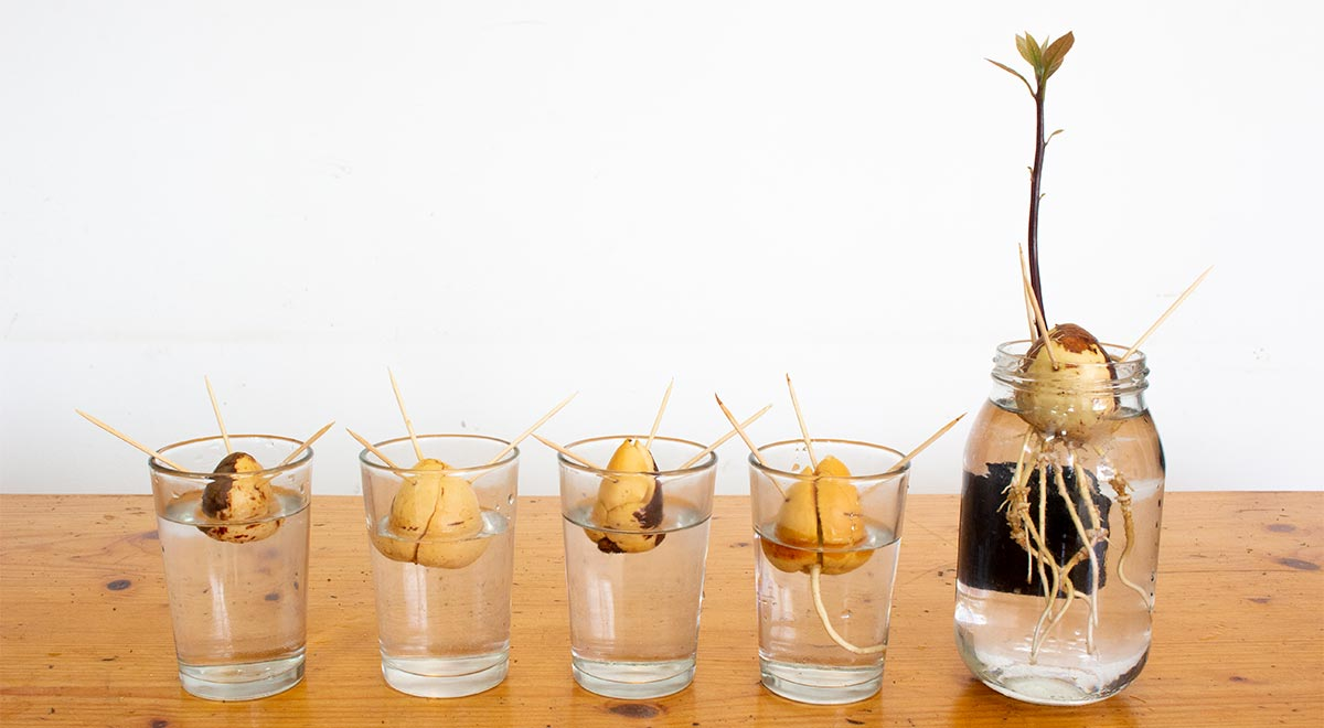 Avocado Seeds at Different Stages of Growth