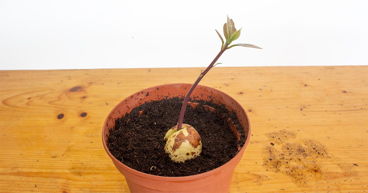 Potted up Water Sprouted Avocado Seed