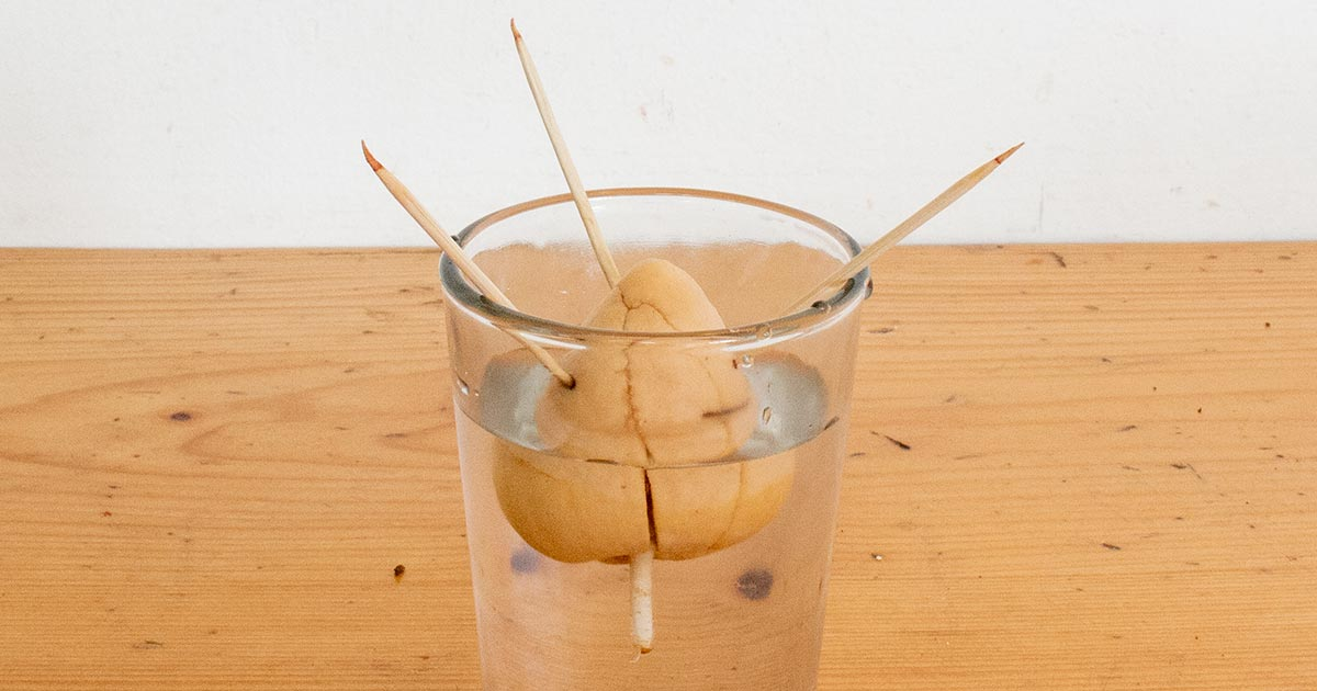 Sprouting an Avocado Seed in Water